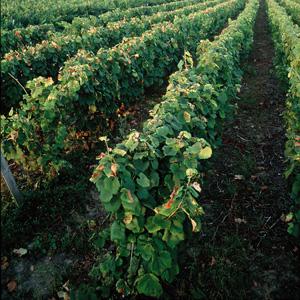 Cep de vigne fourni en raisin